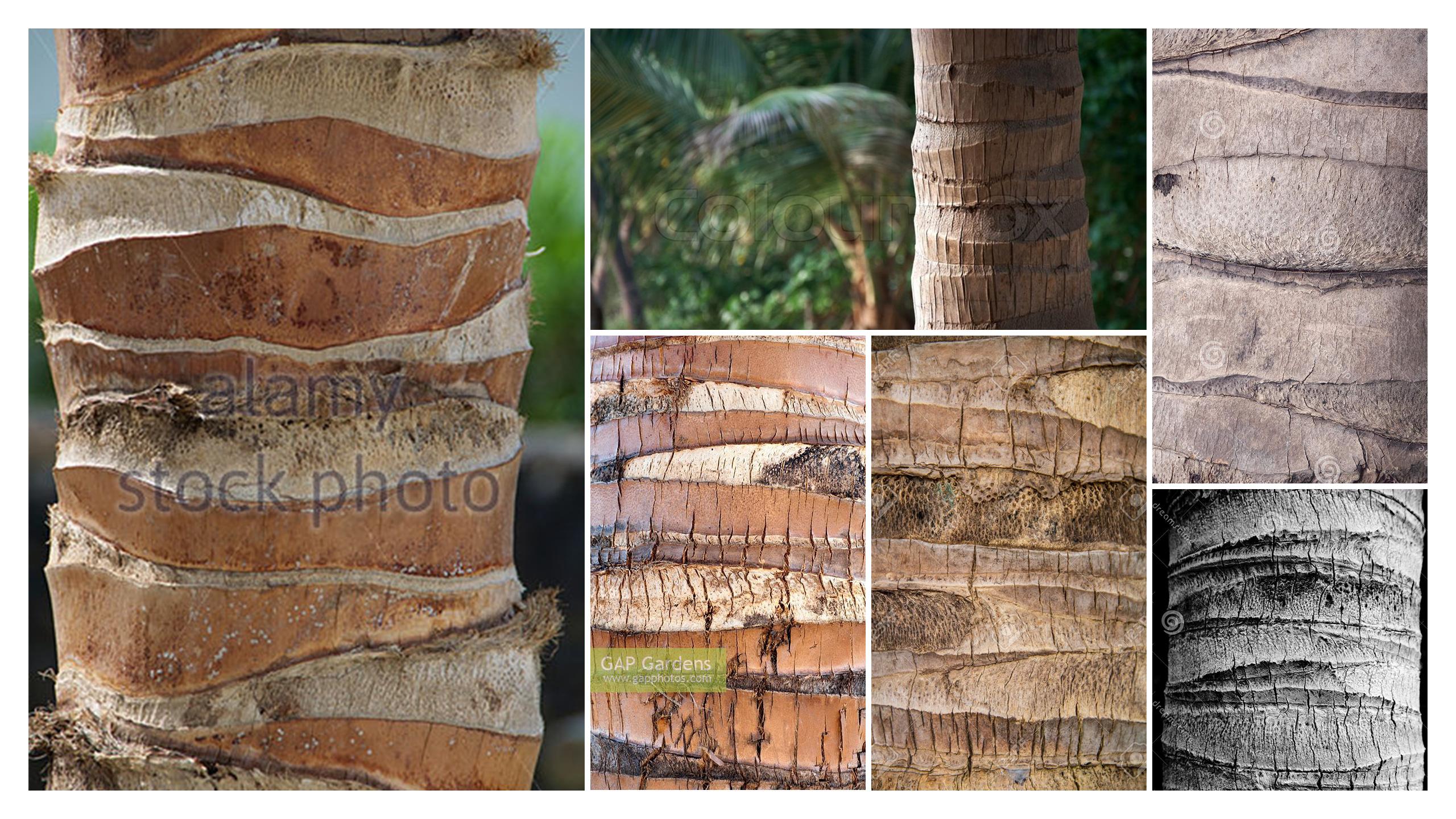 Palm Tree Trunk  Cocos Nucifera   U2013 George O U0026 39 Keeffe